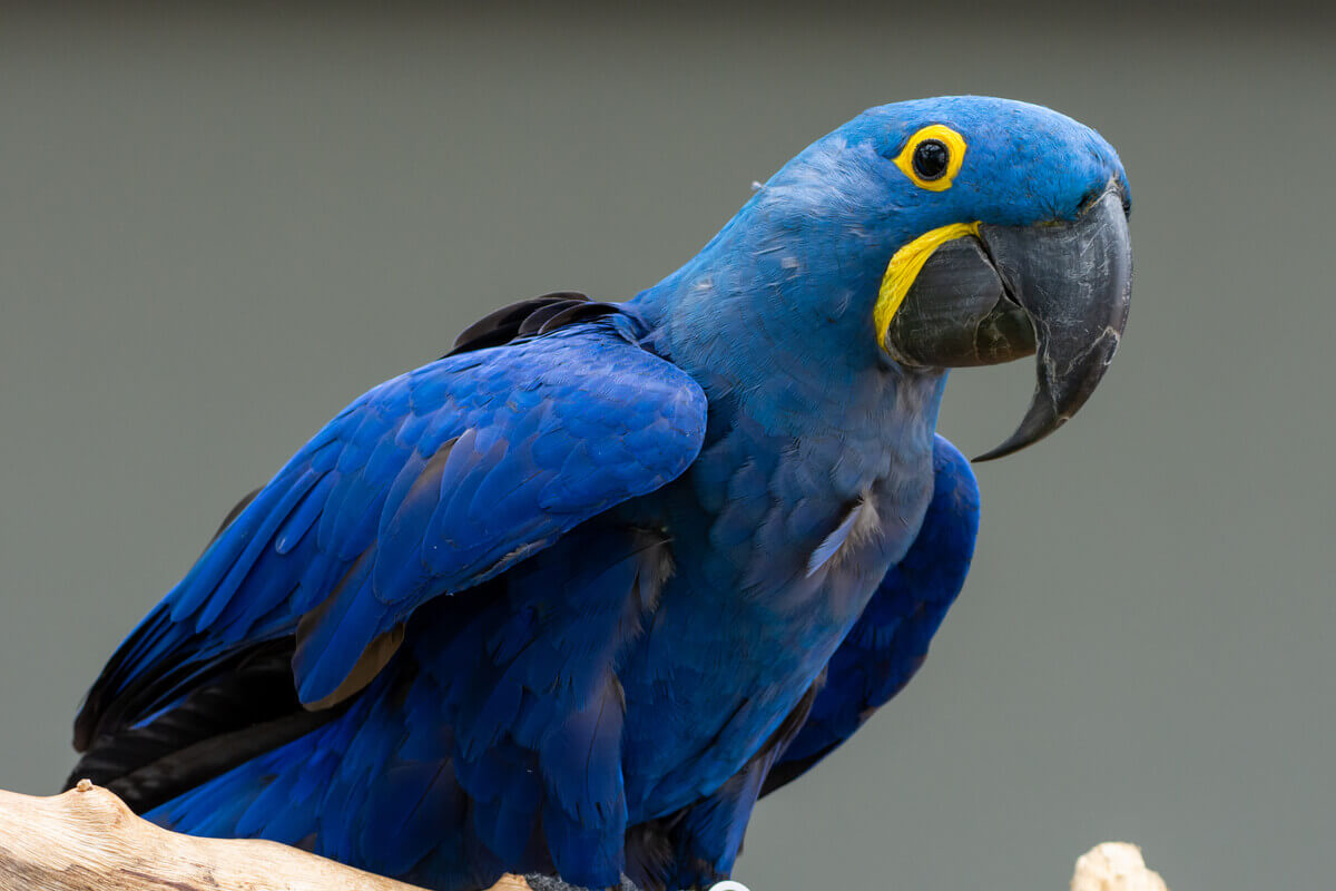 Uma arara-azul-grande adulta.