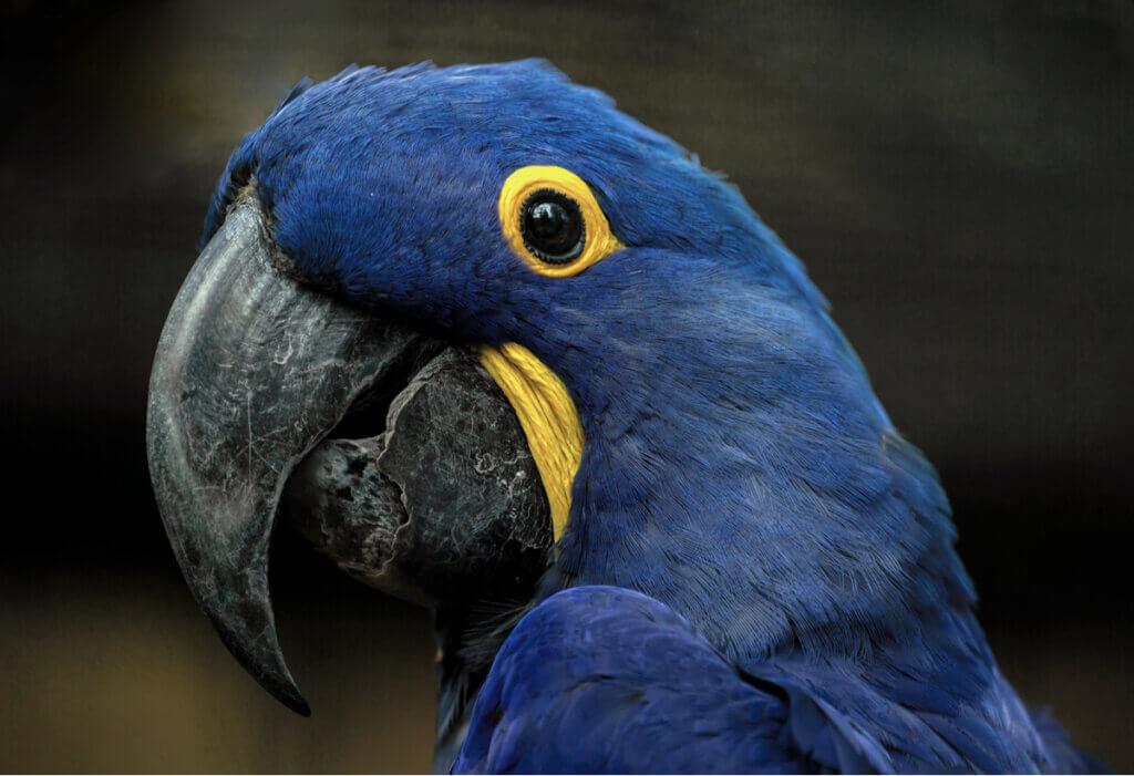 Arara-azul-grande: habitat e características
