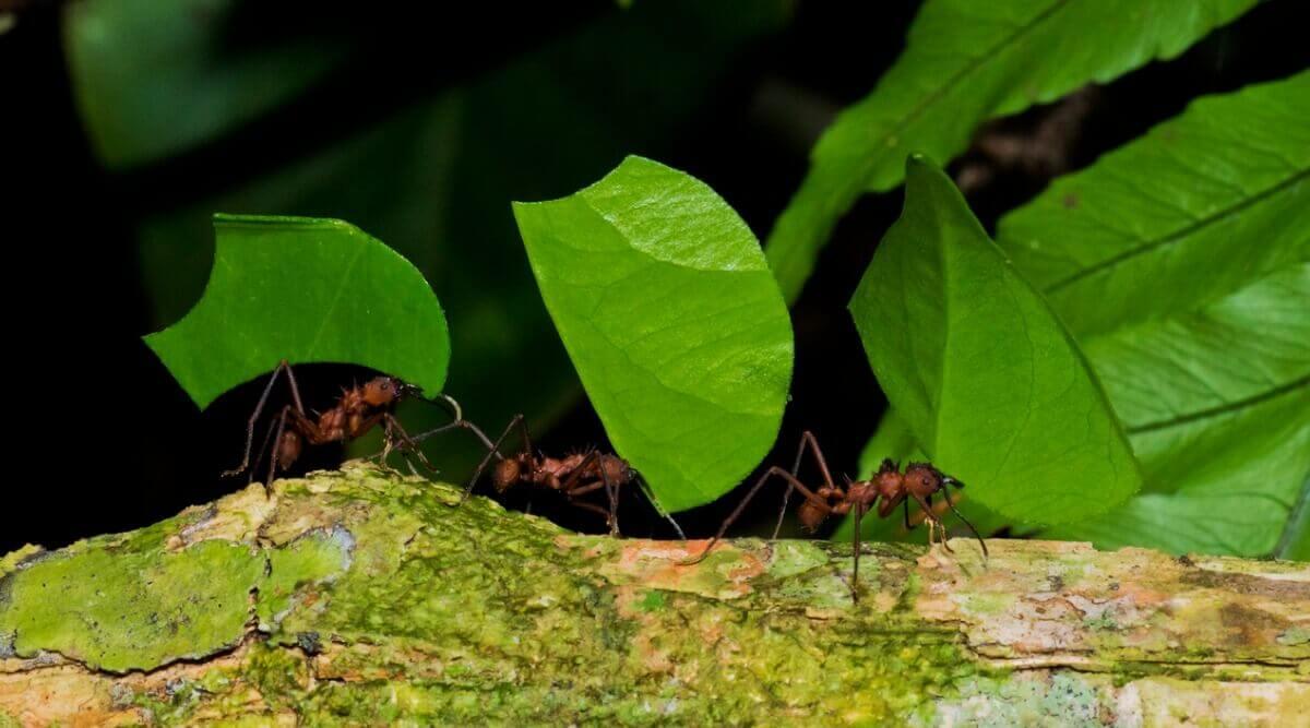 Saúvas-cabeça-de-vidro carregando folhas para o formigueiro