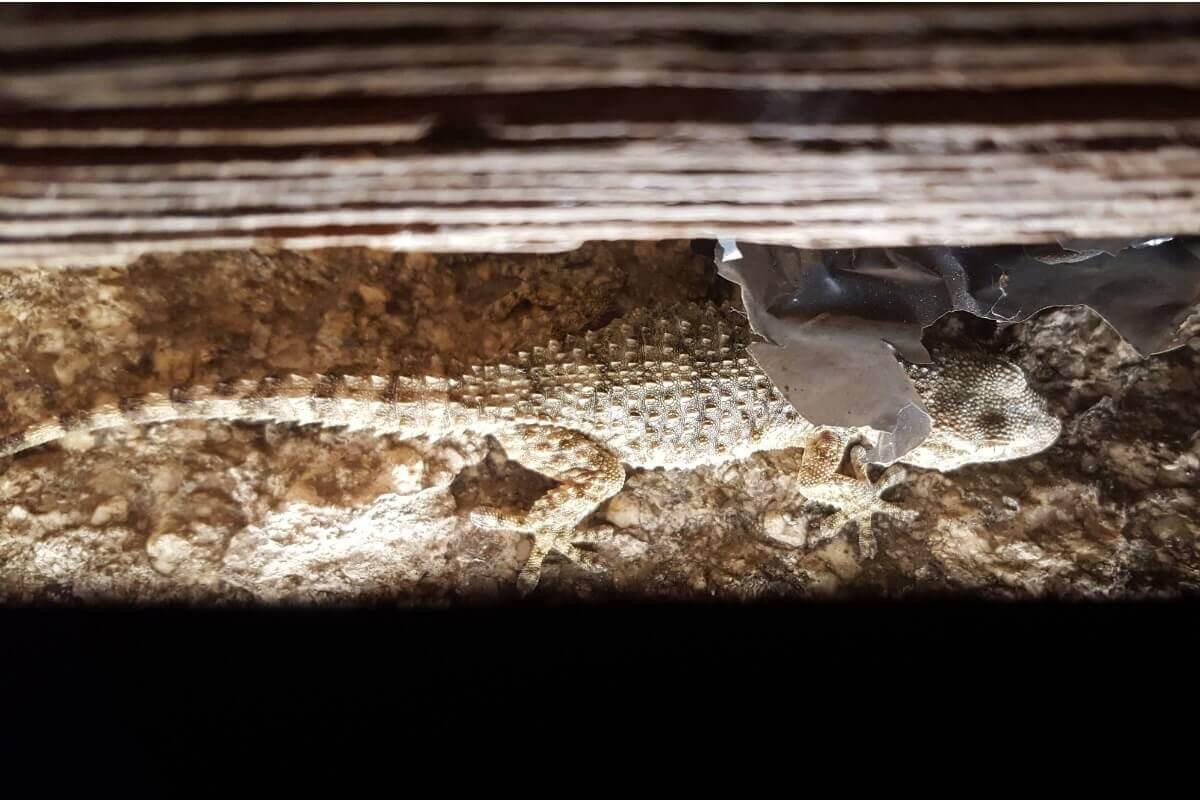 Uma lagartixa na parede