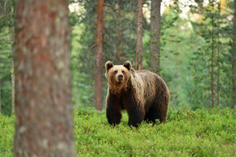 Um urso-pardo olhando para a câmera.