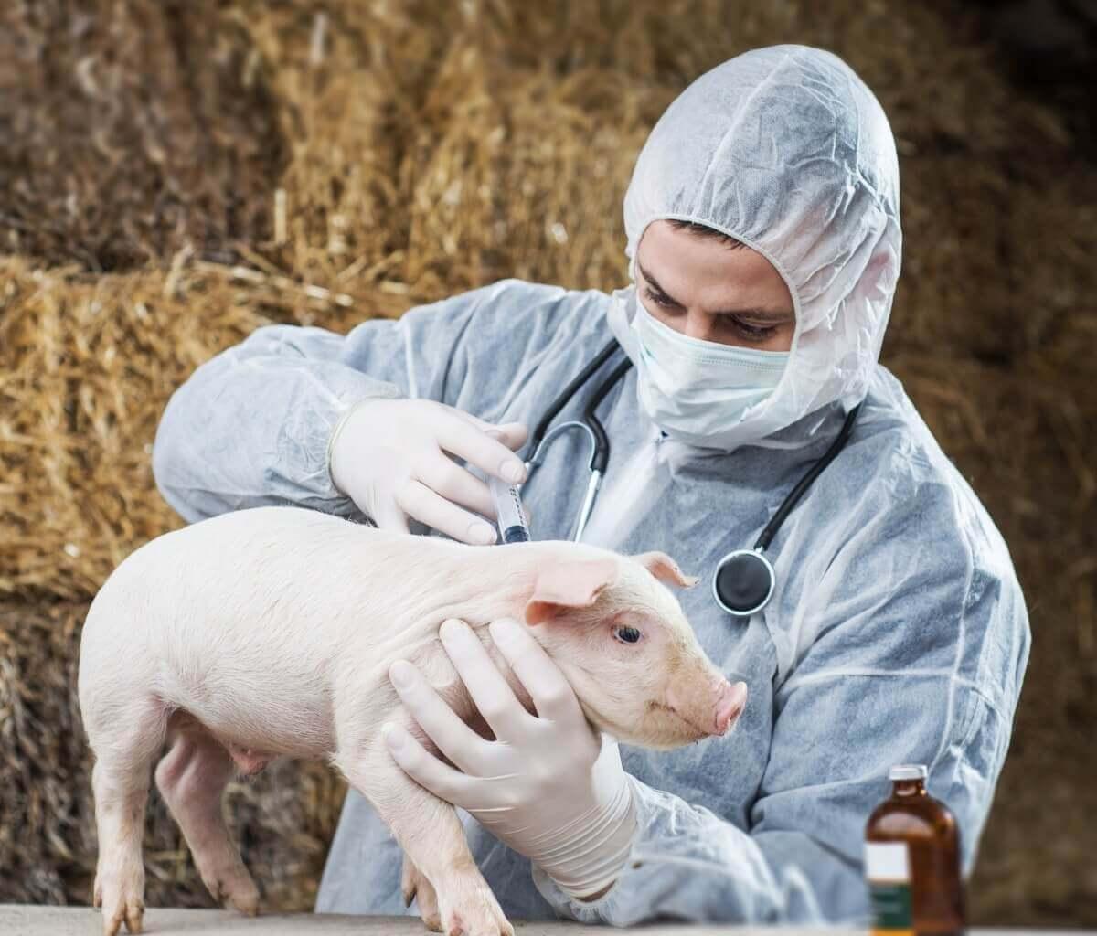 Veterinário vacinando contra a erisipela suína