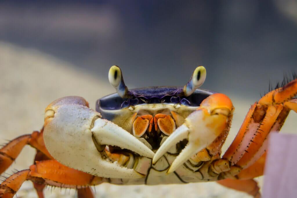 Caranguejos: tipos, características, comportamento e reprodução