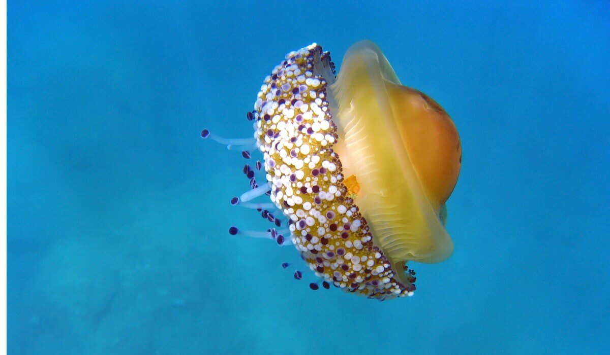 Uma água-viva ovo frito no mar.