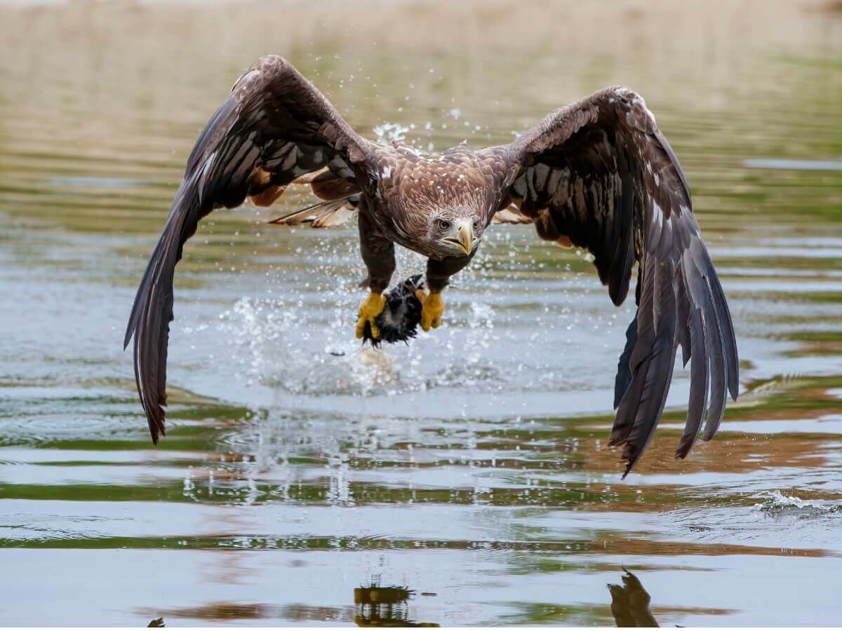 Águia-rabalva segurando presa.