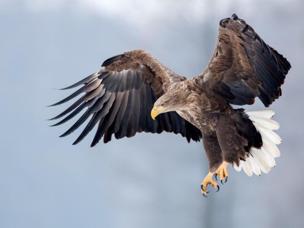 Águia-rabalva: habitat e características