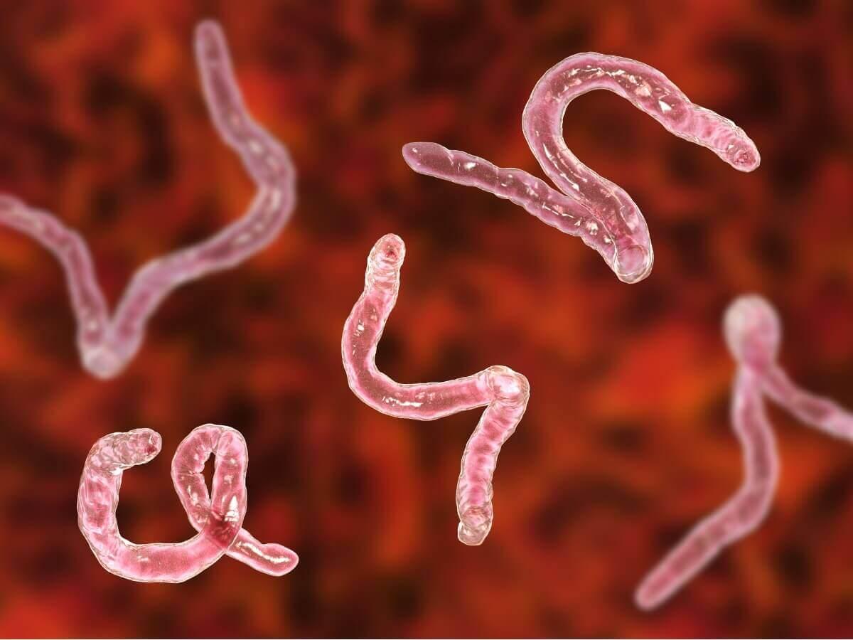 Um grupo de ancilóstomos.