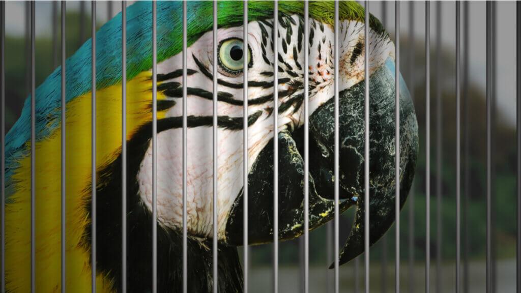 7 aves domésticas em risco de extinção