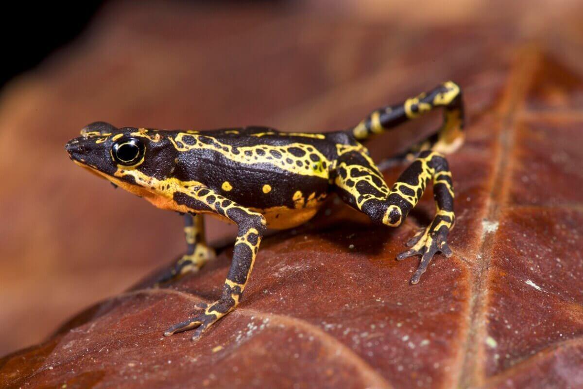 Um dos animais ameaçados de extinção do Equador.