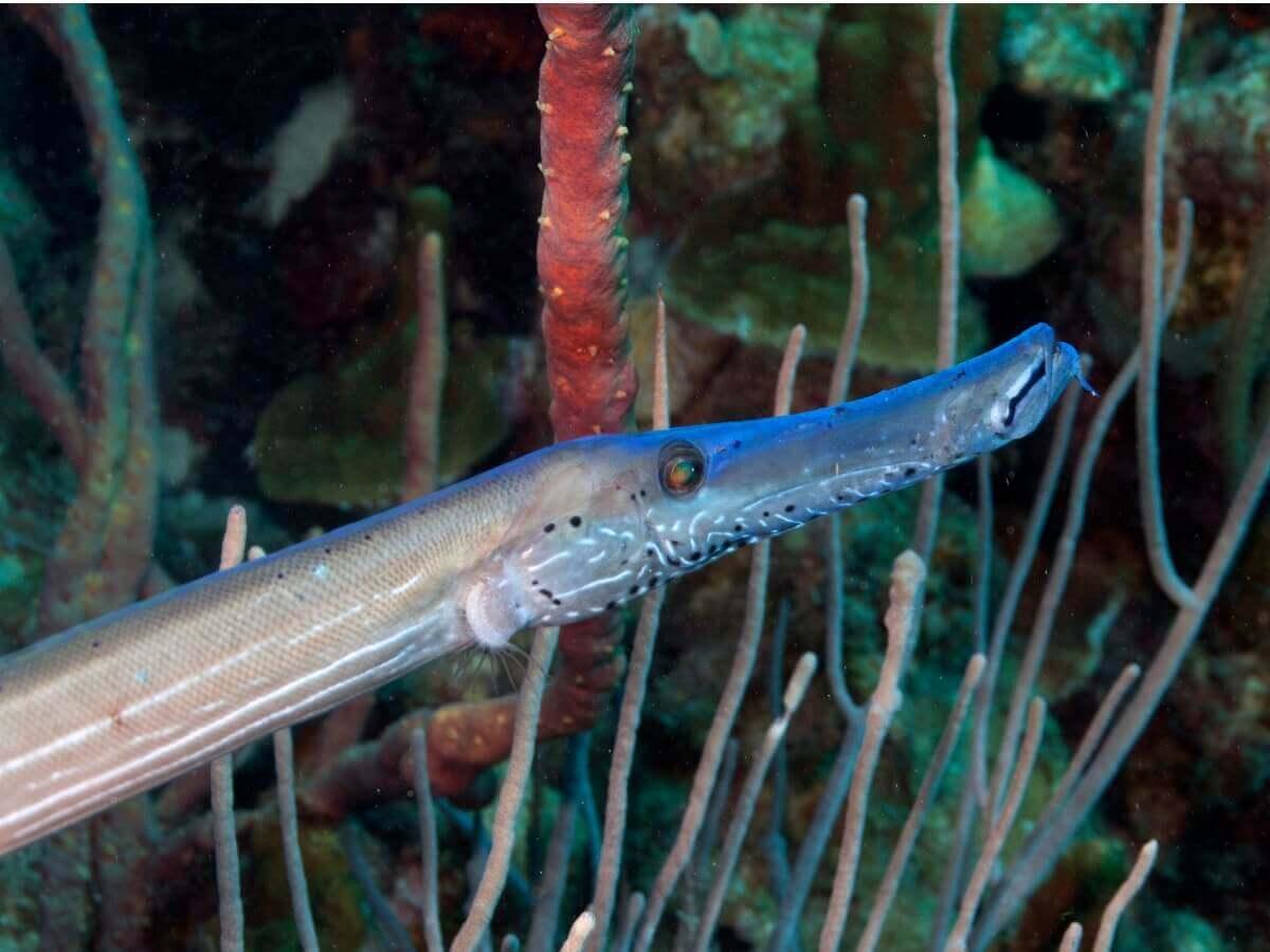 Detalhe da área cefálica de um peixe-trombeta.
