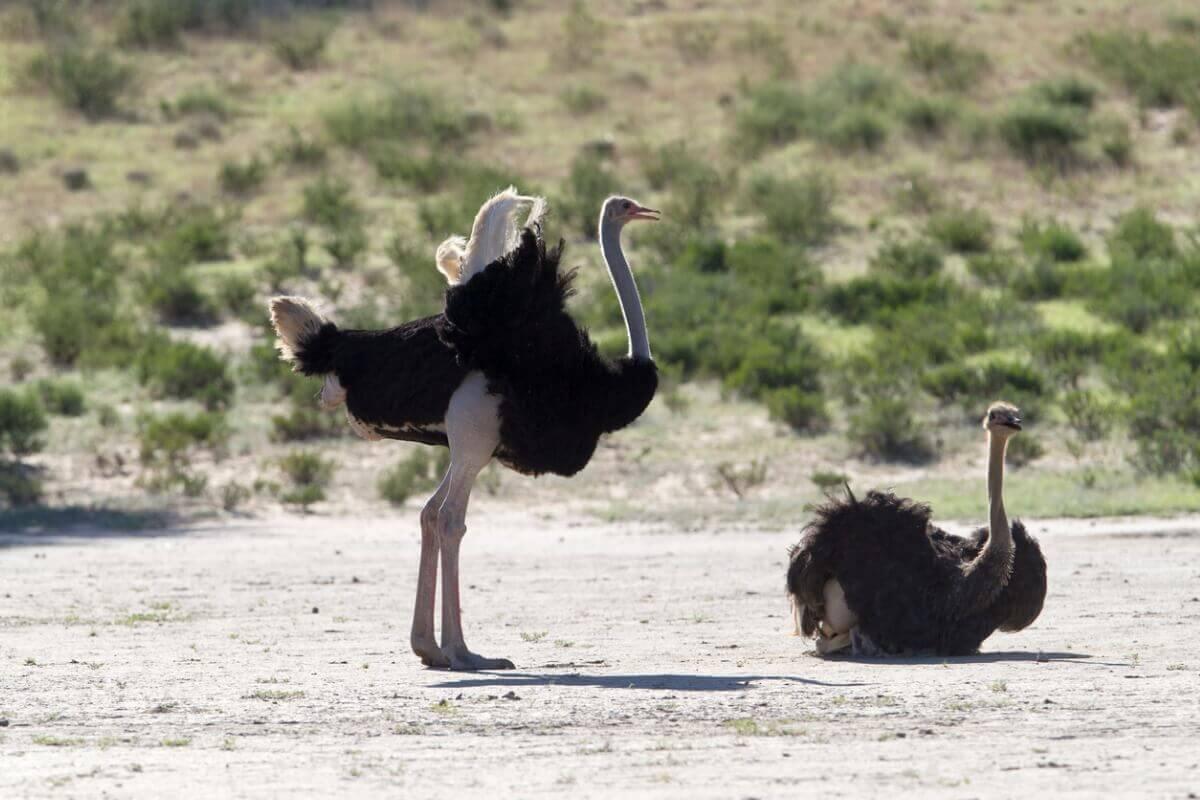 Cortejo dos avestruzes.