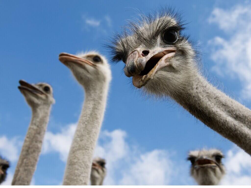 O comportamento do avestruz