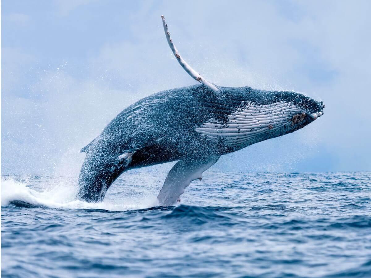 Uma grande baleia-jubarte saltando.