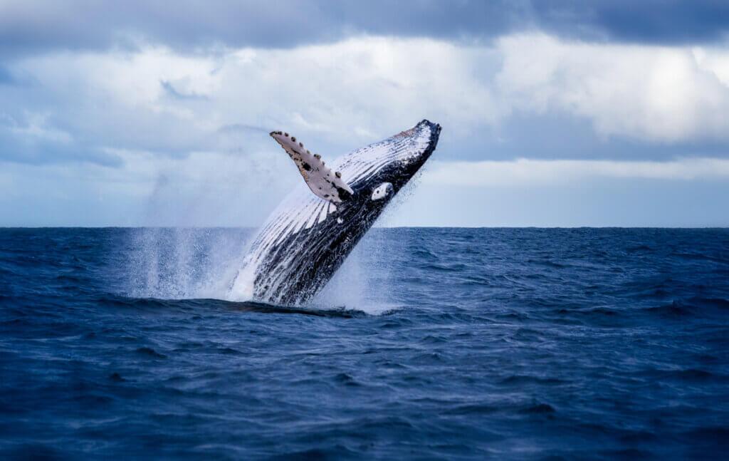 Whalien 52: a baleia mais solitária do mundo