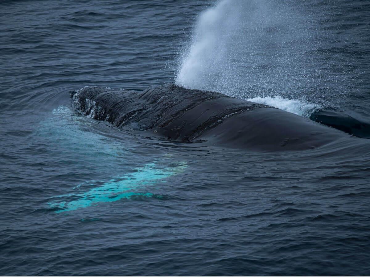 Você sabe como as baleias respiram?