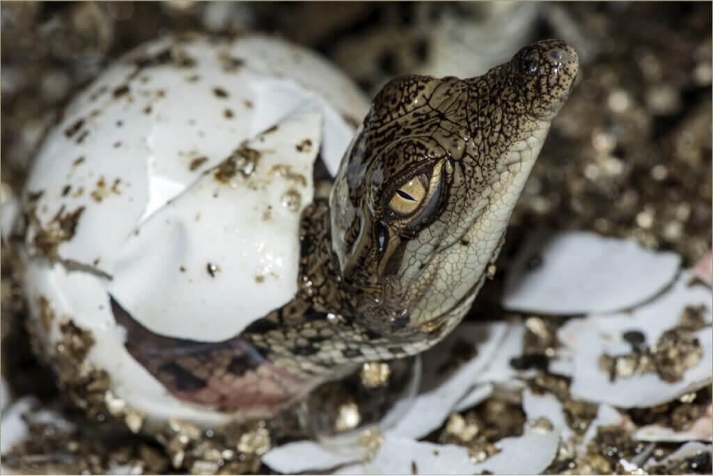 Como os crocodilos se reproduzem?
