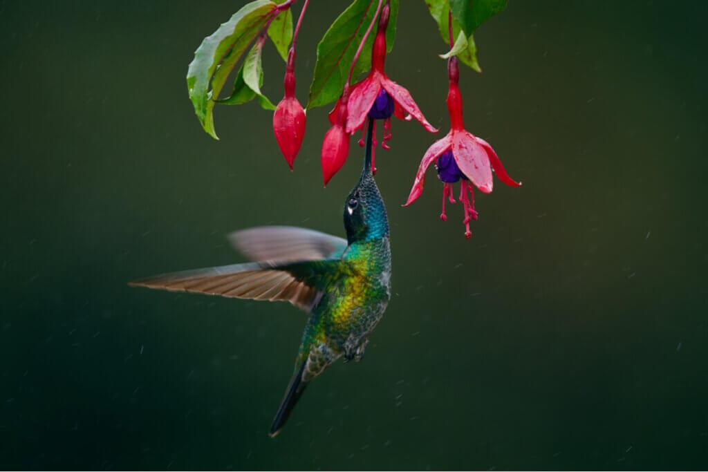 Por que o beija-flor bate as asas tão rápido?