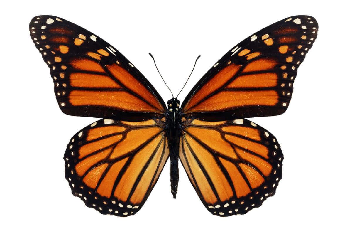 Uma borboleta-monarca em um fundo laranja.