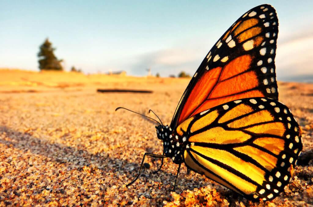 A borboleta-monarca está em perigo de extinção