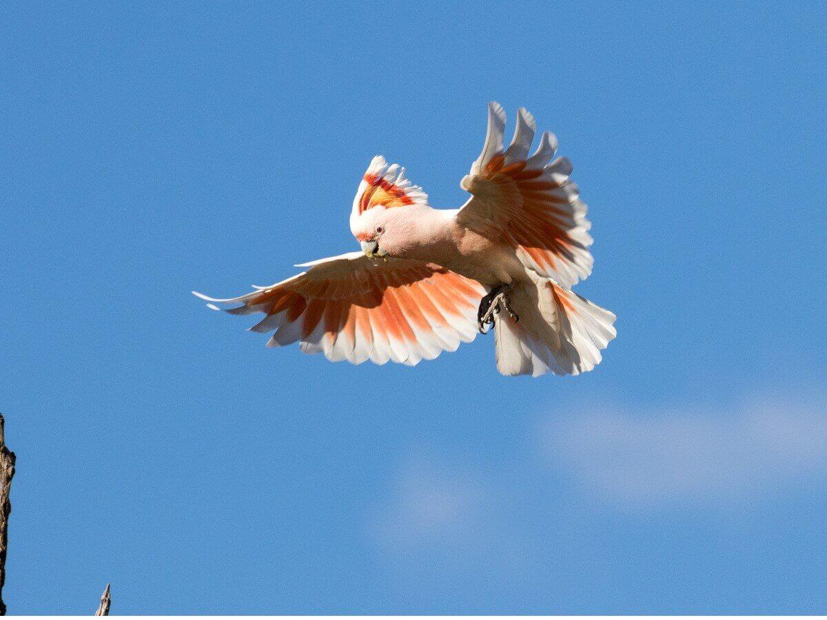 Uma cacatua-rosa voa sobre o céu azul.