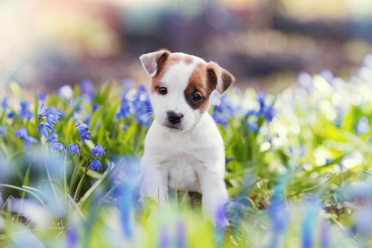 Um cachorrinho em um campo de flores.