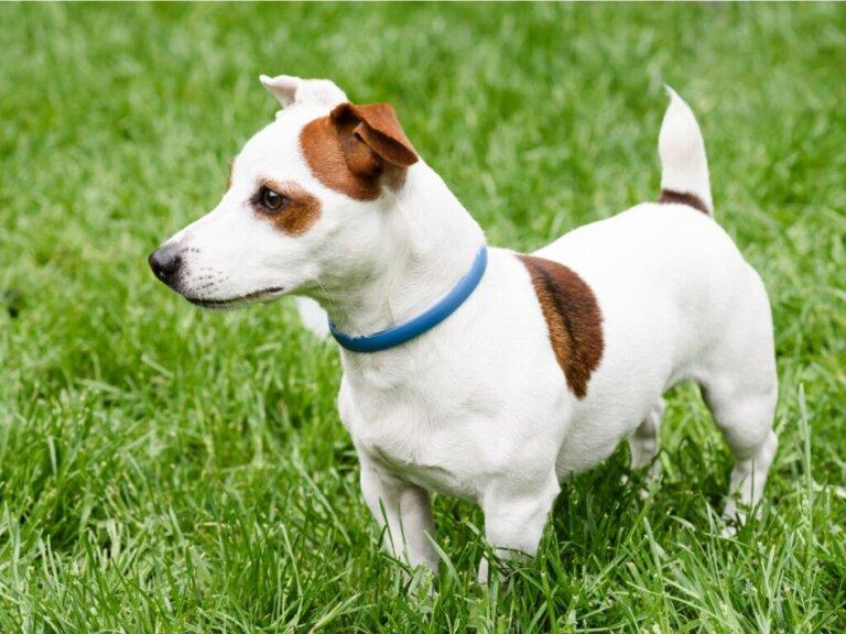 Coleiras antiparasitárias para cães: qual escolher?