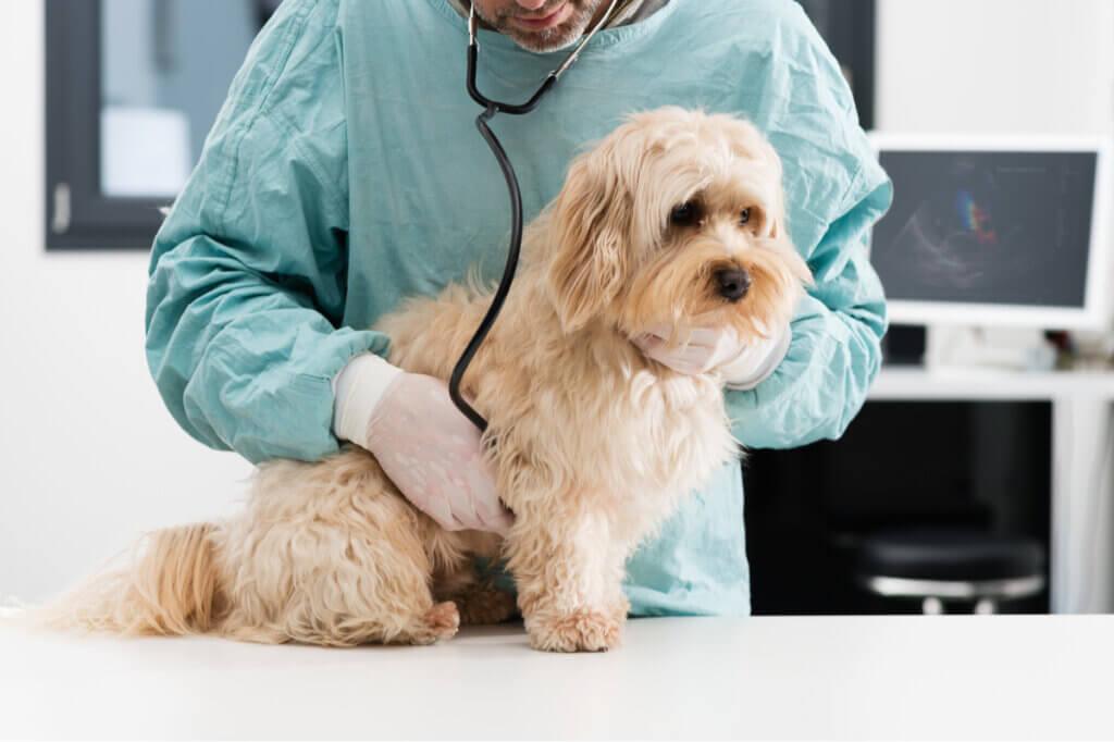 Ancilóstomos em cães: sintomas e tratamento