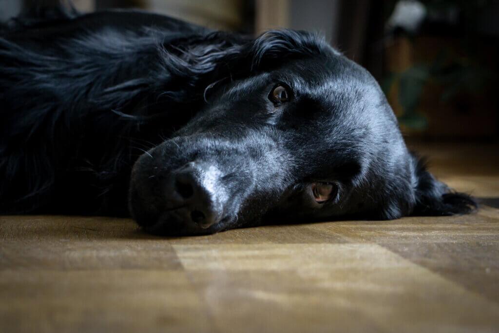 10 dicas para ajudar um cão com depressão