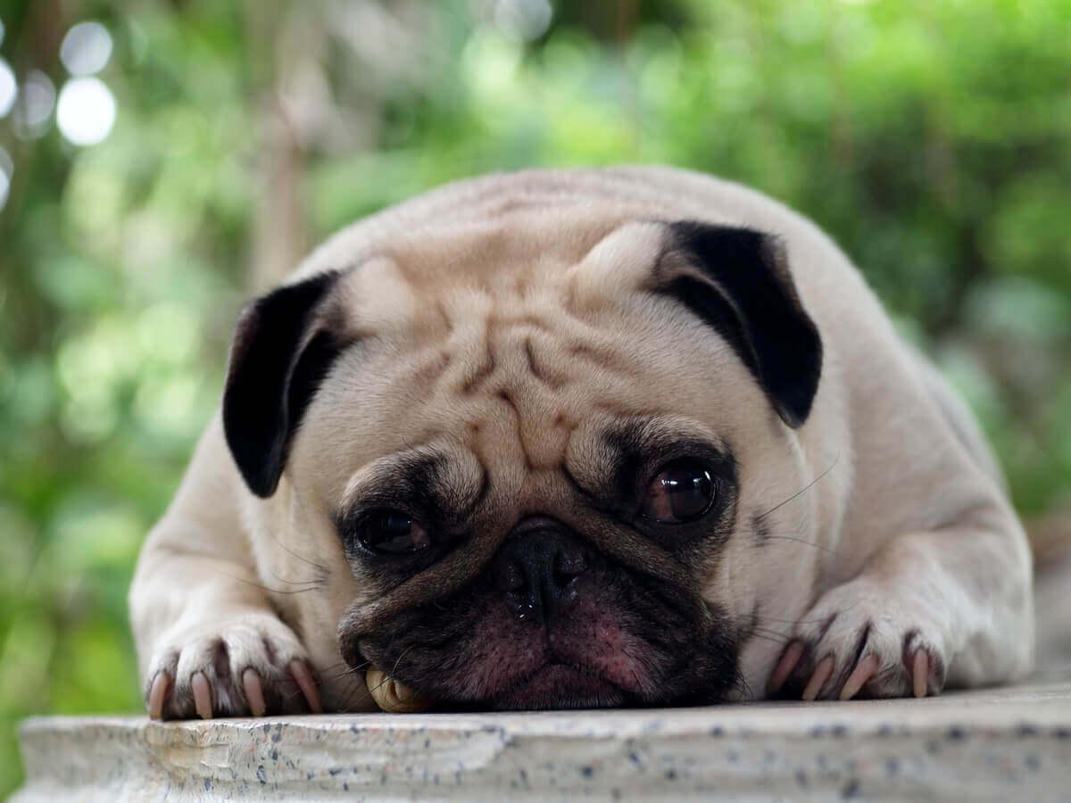 Um cachorro triste olhando para a câmera.