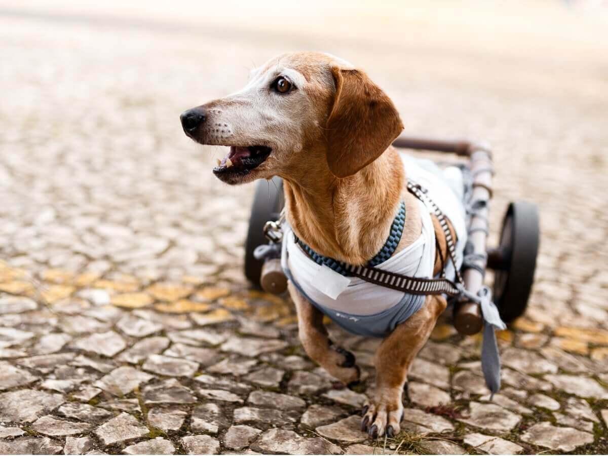 Um cachorro em uma cadeira de rodas usa sua órtese.