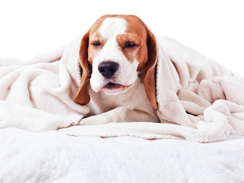 Faringite em cães: tudo o que você precisa saber