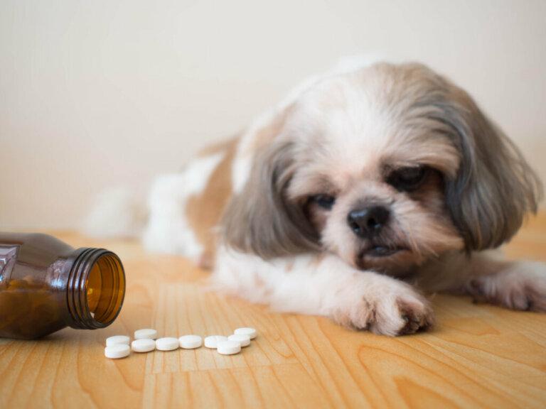 Tramadol para cães: usos e efeitos secundários