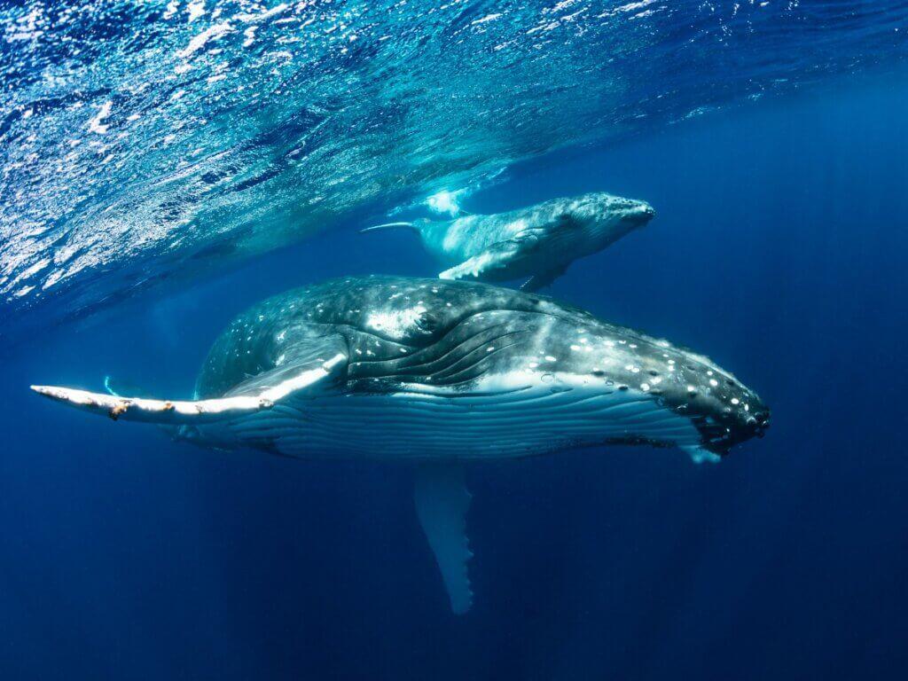 Baleia-jubarte: habitat, características e comportamento