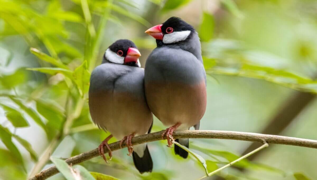 Uma das aves domésticas em risco de extinção.