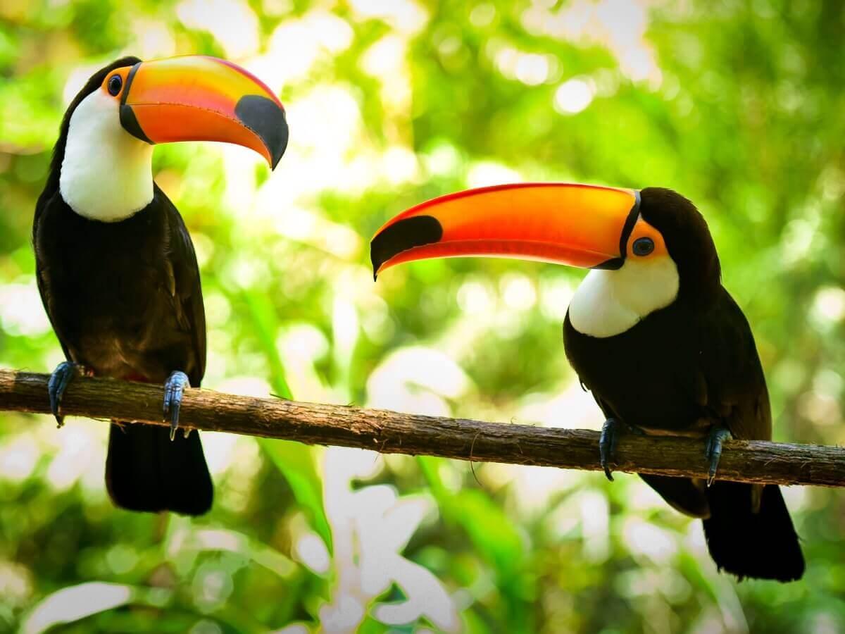 Um casal de tucanos