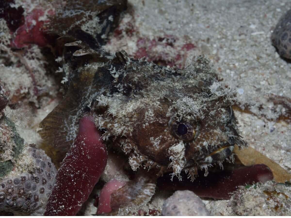 O peixe-sapo charroco camuflado.