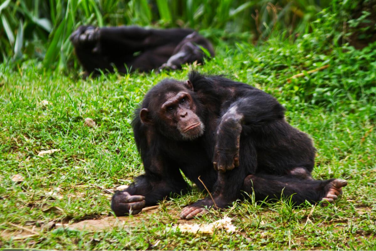 Um chimpanzé deitado.