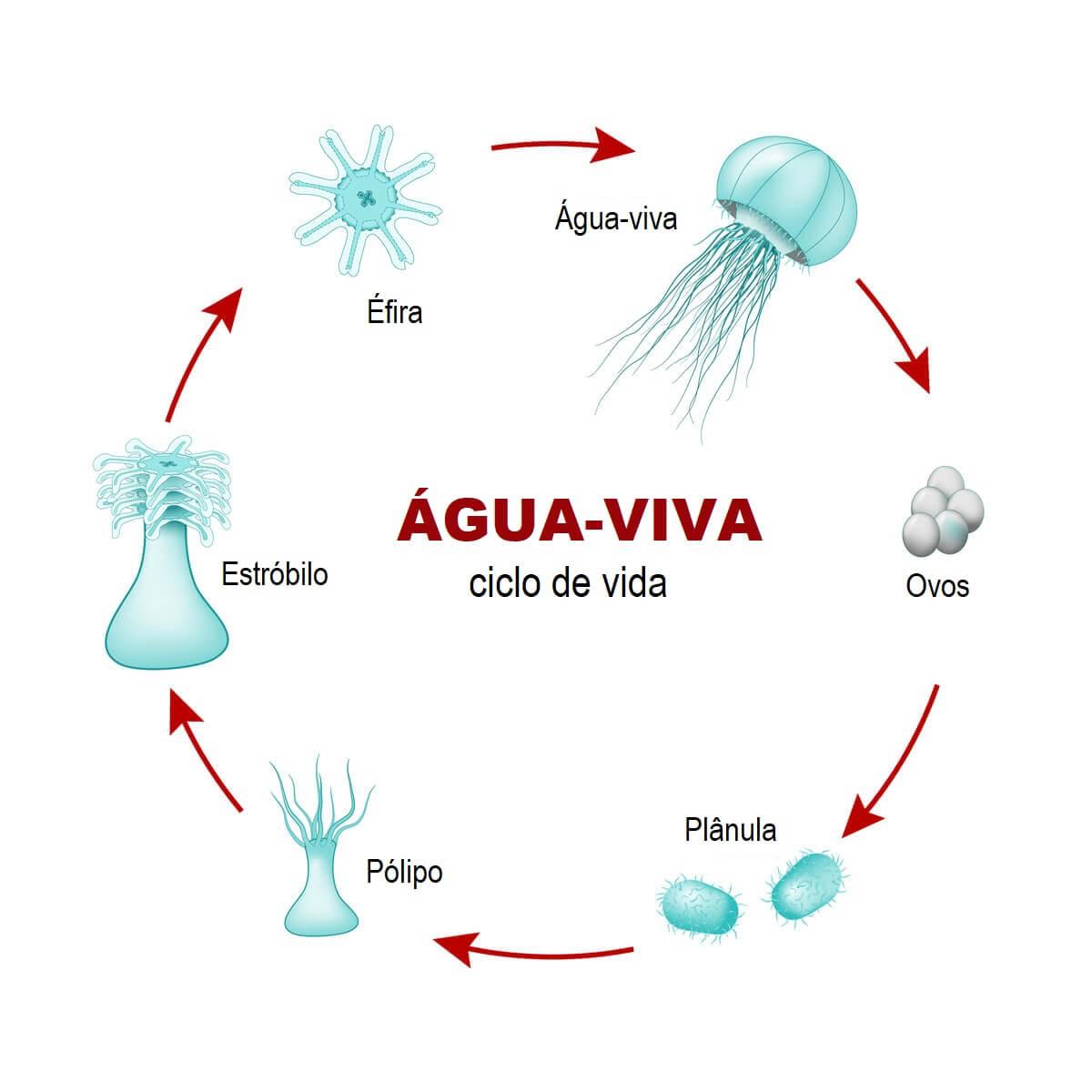 Reprodução alternada: ciclo de vida da água-viva