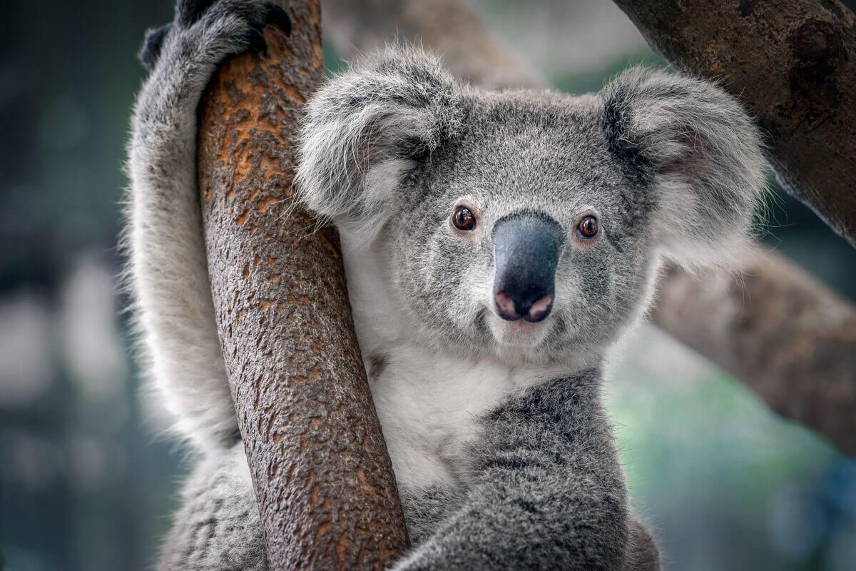 O coala é uma espécie em extinção.