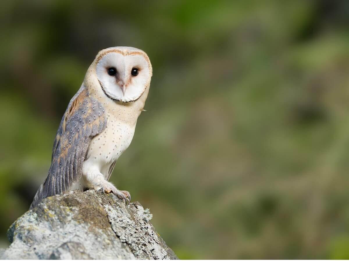 Uma coruja-das-torres no topo de uma rocha.