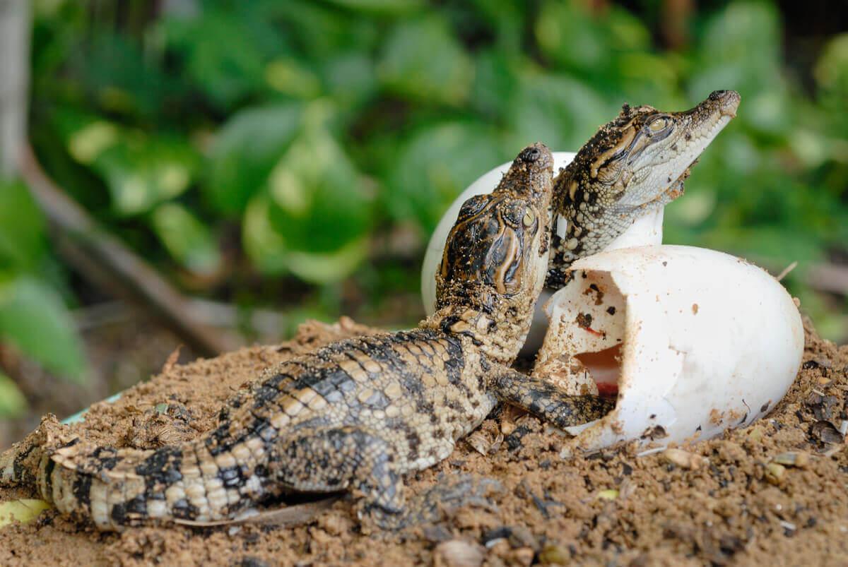 Crocodilos saindo do ovo.