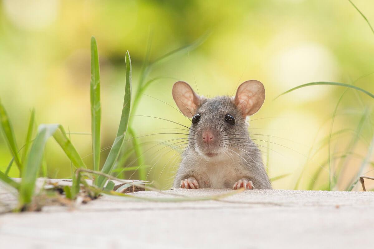 Exemplo de espécies de roedores.