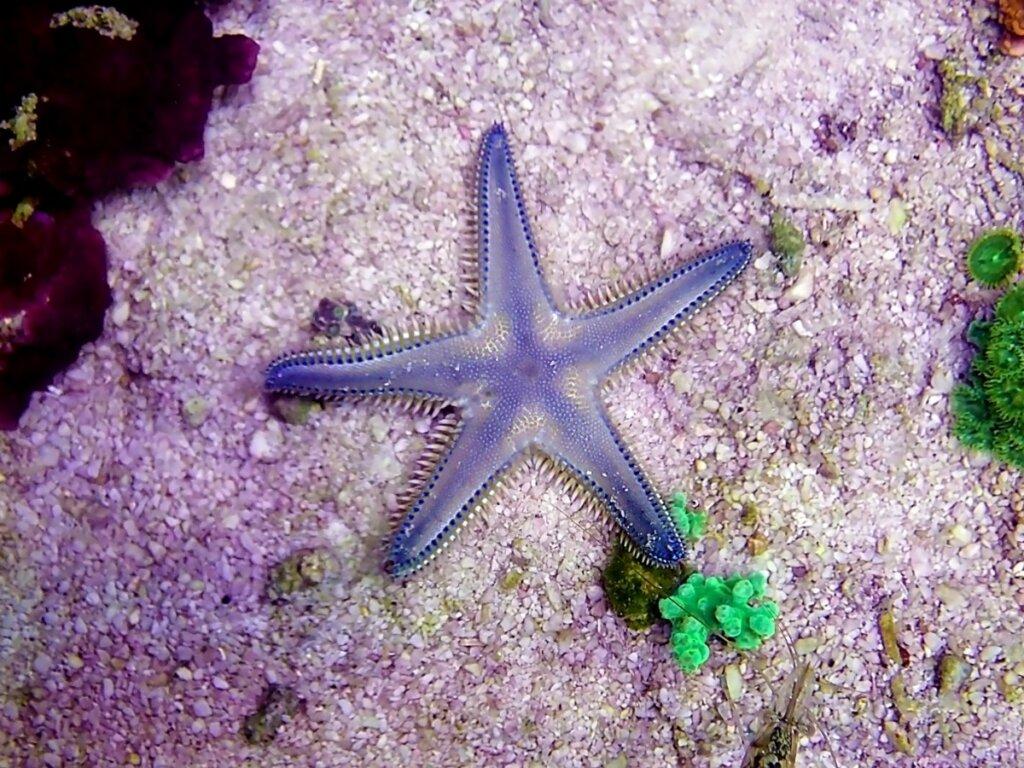 Como as estrelas-do-mar respiram?