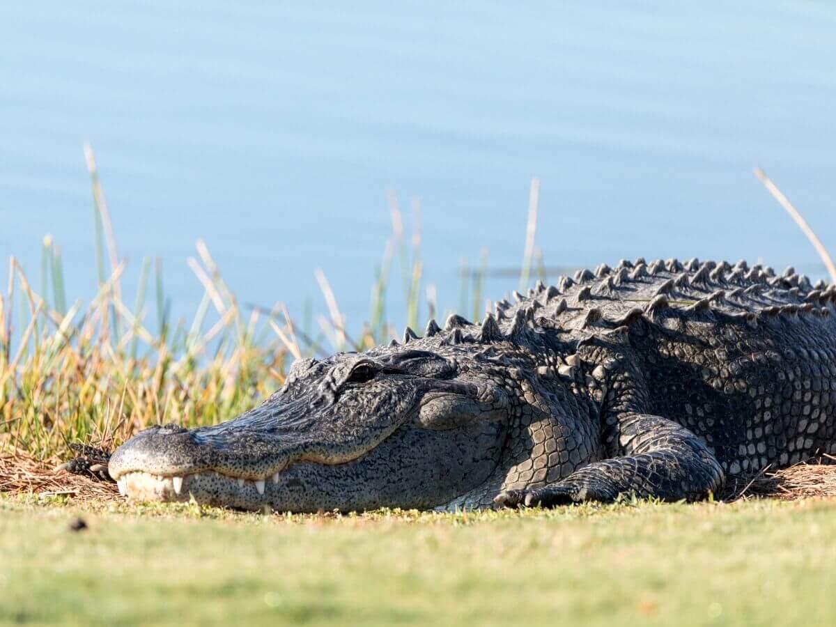 Os jacarés são um dos tipos de crocodilos.