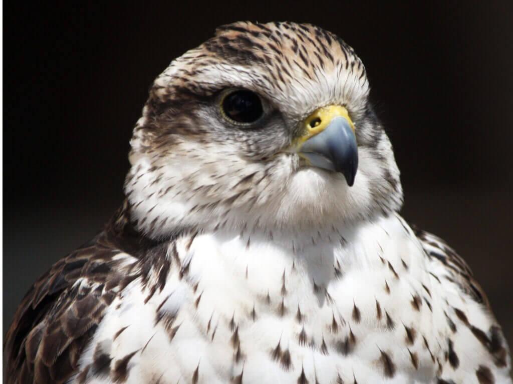 Uma das aves domésticas que está em risco de extinção.