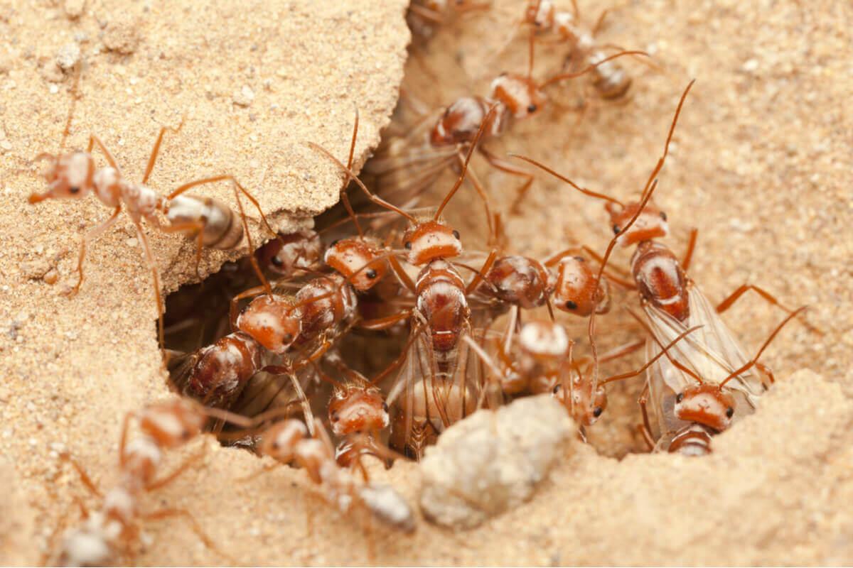 Formigas prateadas subsaarianas.