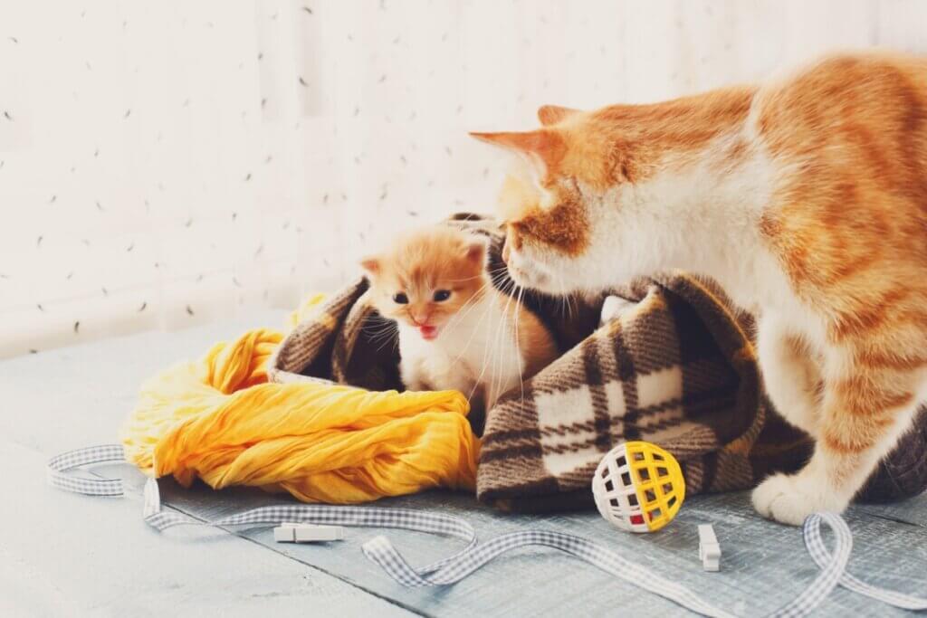 Após o parto, quando a gata entra no cio?