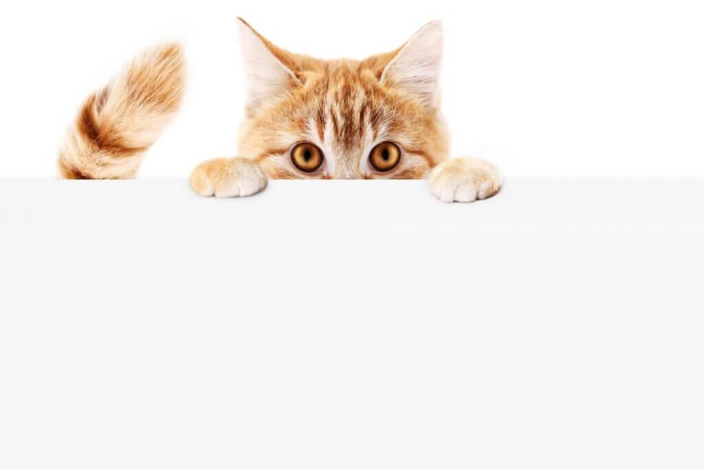 Por que meu gato persegue a própria cauda?