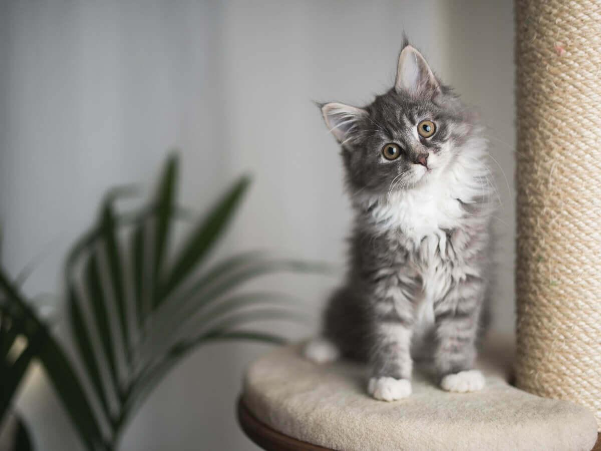 Um pequeno gato com pelo comprido.