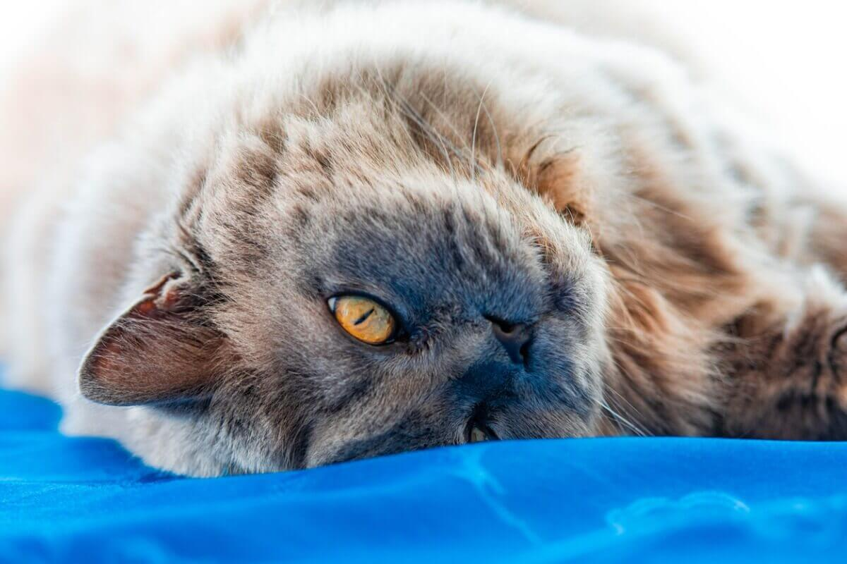 Um gato britânico de pêlo comprido.